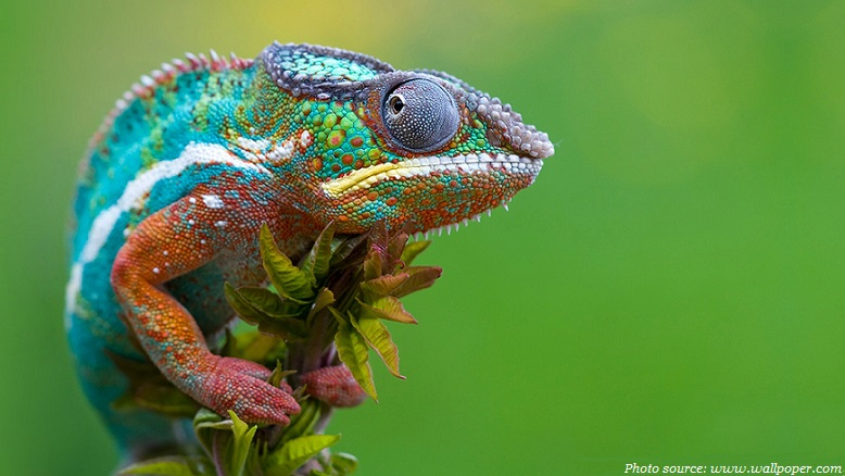 colored chameleon madagascar