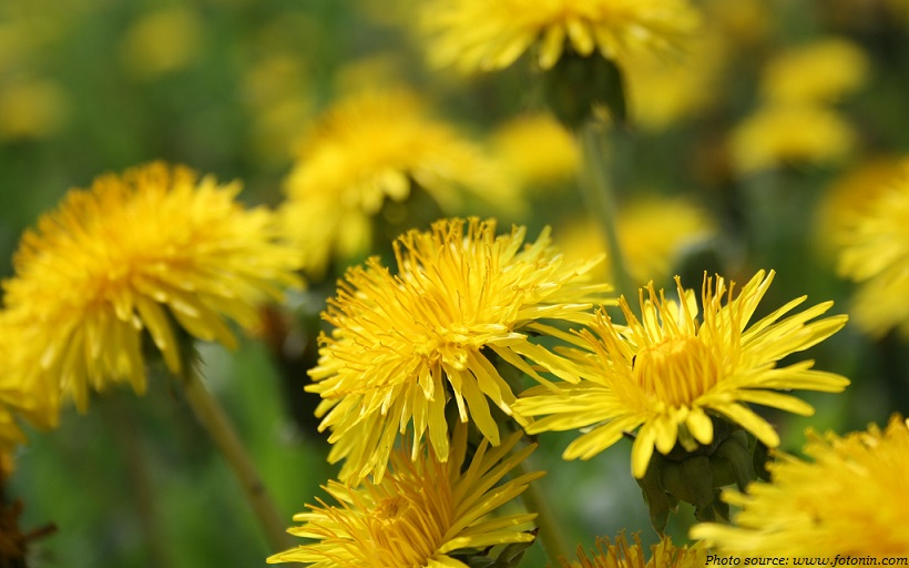 interesting facts about dandelions just fun facts