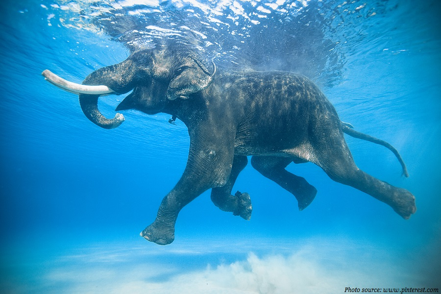 elephants-swimming