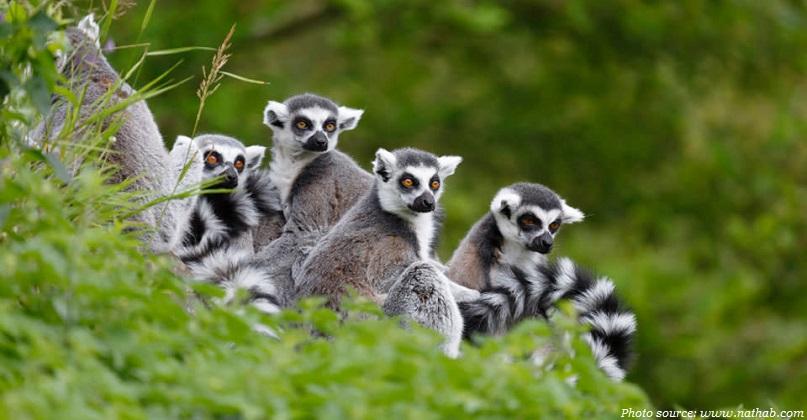 Lemur family madagascar