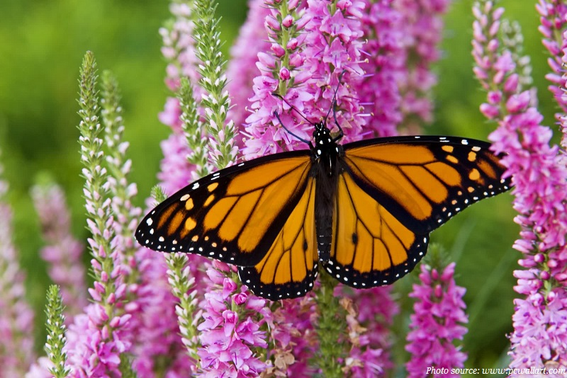 monarch-butterfly-on-a-flower