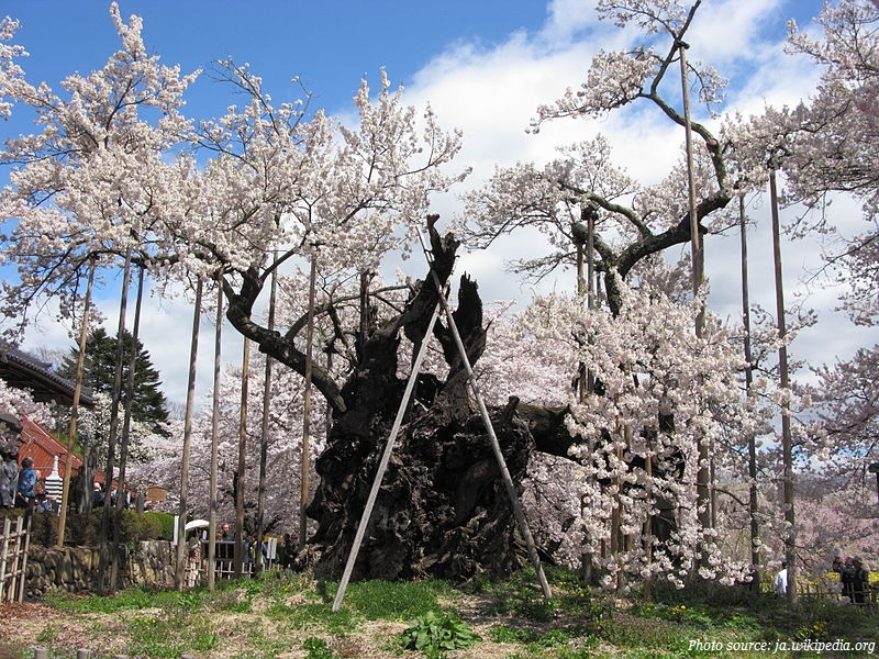 oldest-cherry-blossom-tree-in-the-world