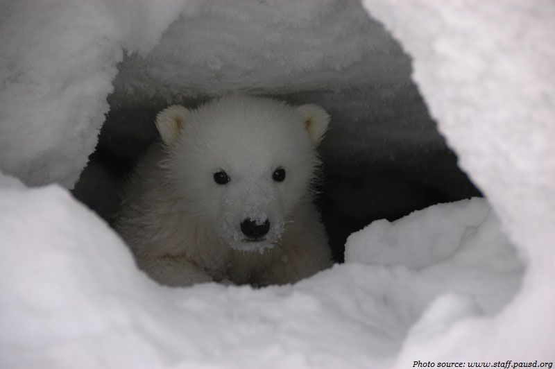 polar bear cub in a den