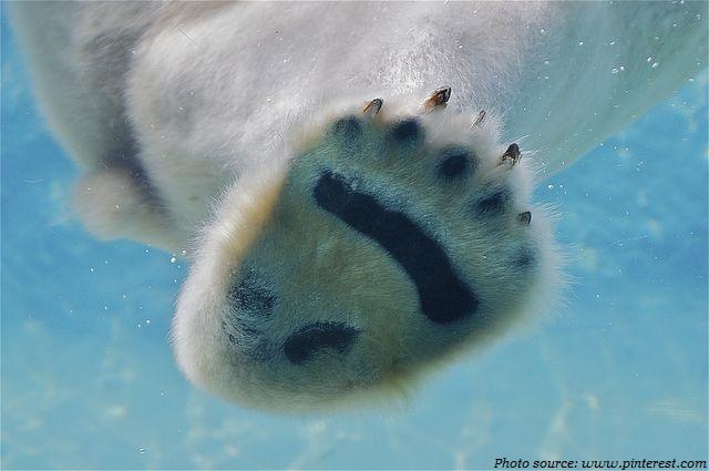 polar bear papillae