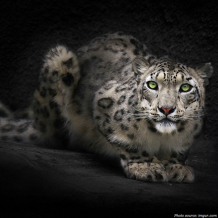 snow-leopard-green-eyes