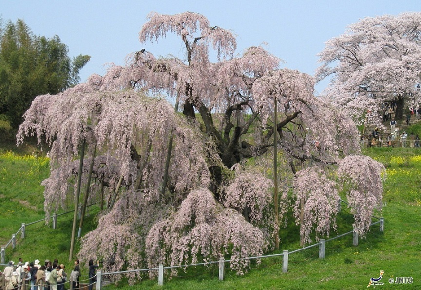 third oldest cherry blossom tree