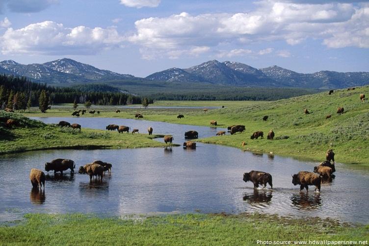 bison wide