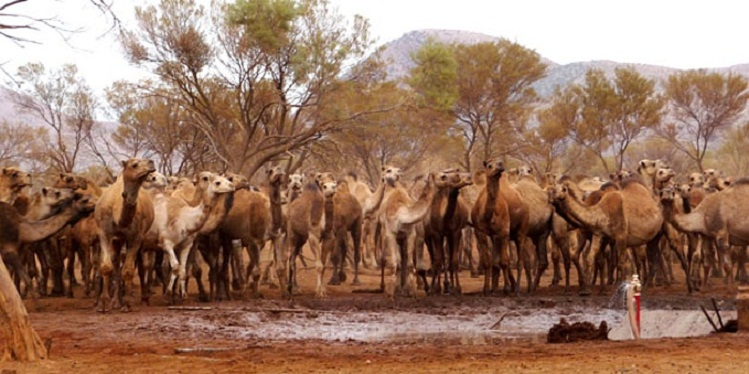camels in search of water