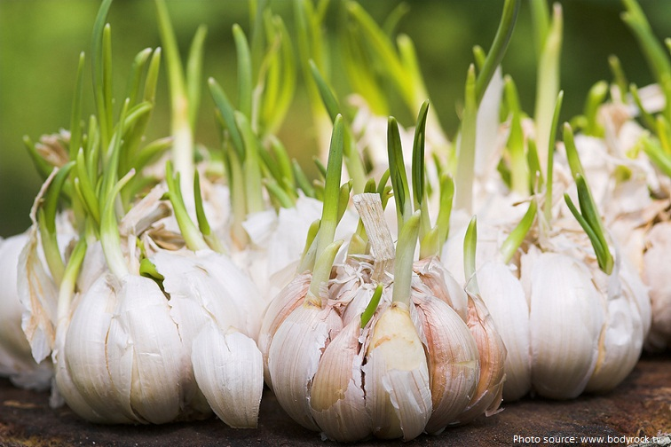 garlic grow