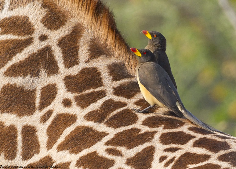 giraffes and oxpeckers