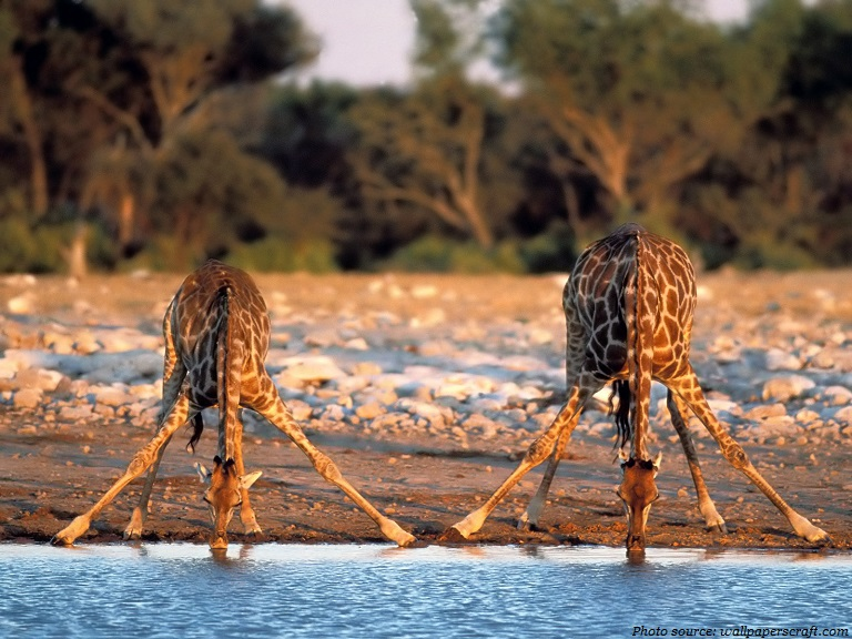 giraffes drink water