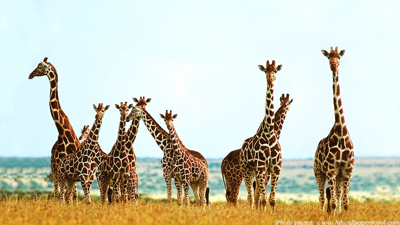 Interesting facts about giraffes | Just Fun Facts
