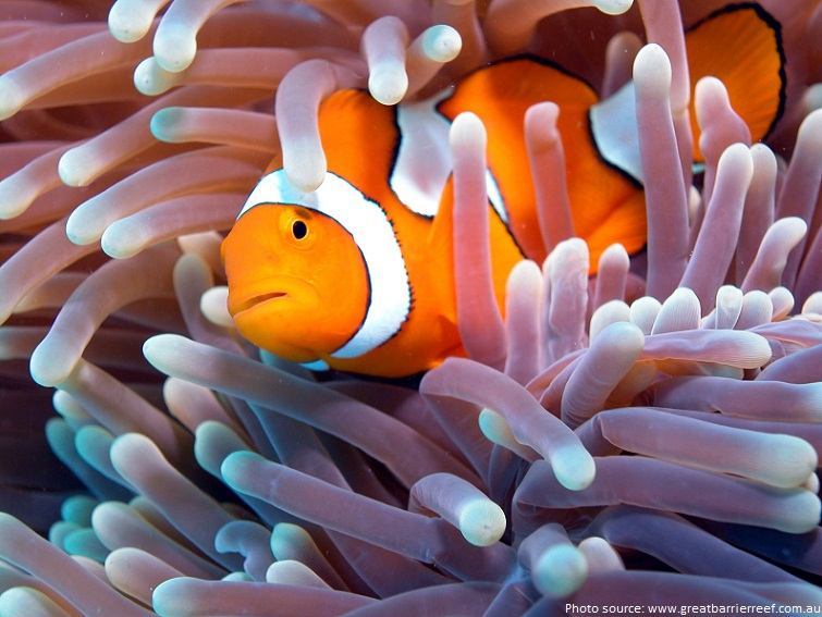 great barrier reef clownfish