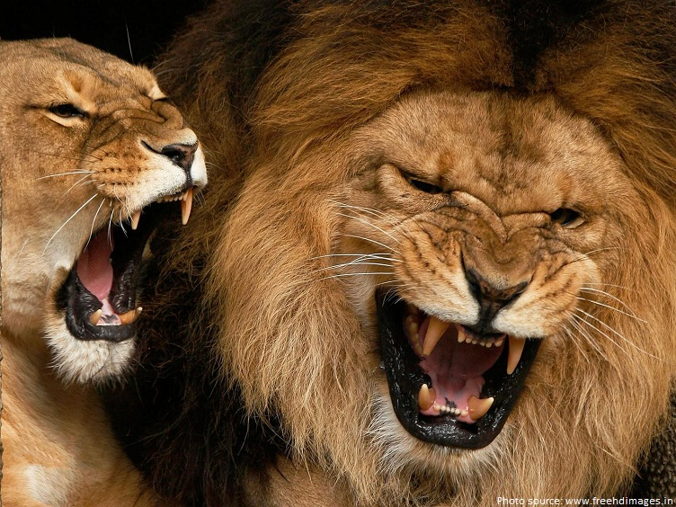 Interesting facts about lions | Just Fun Facts