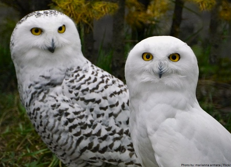 male and female snowy owls