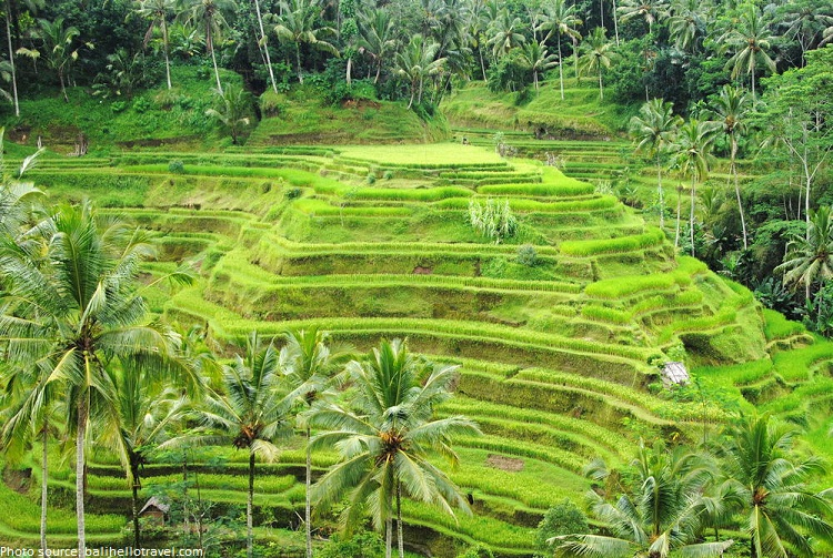 Interesting facts about bali just fun facts for Tegalalang rice terrace ubud