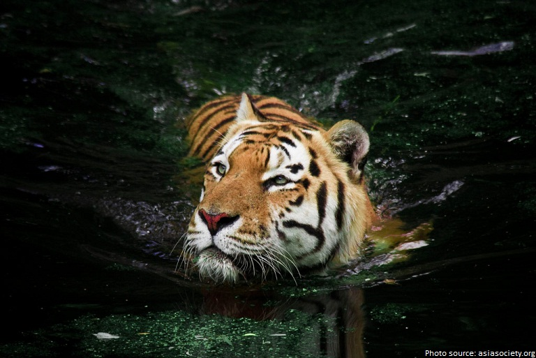 tiger swimming