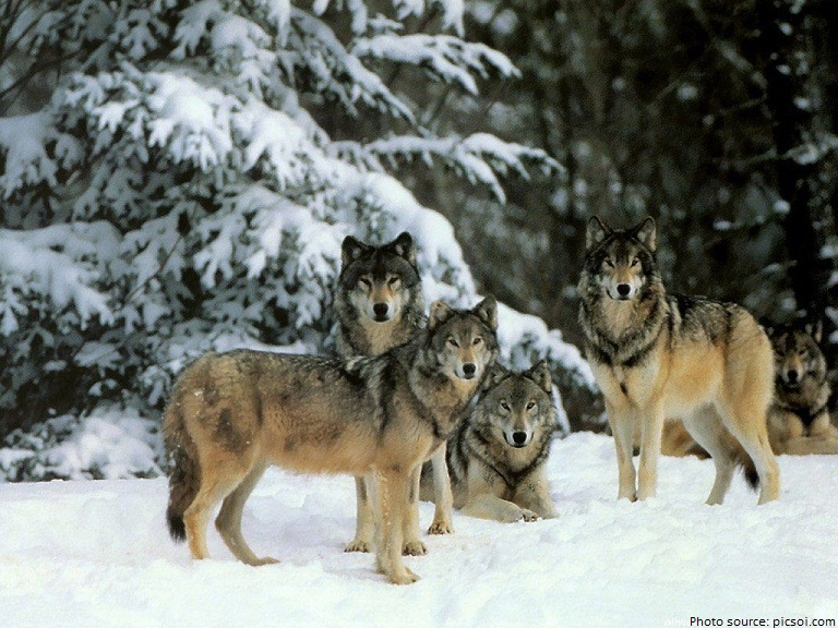 wolves pack