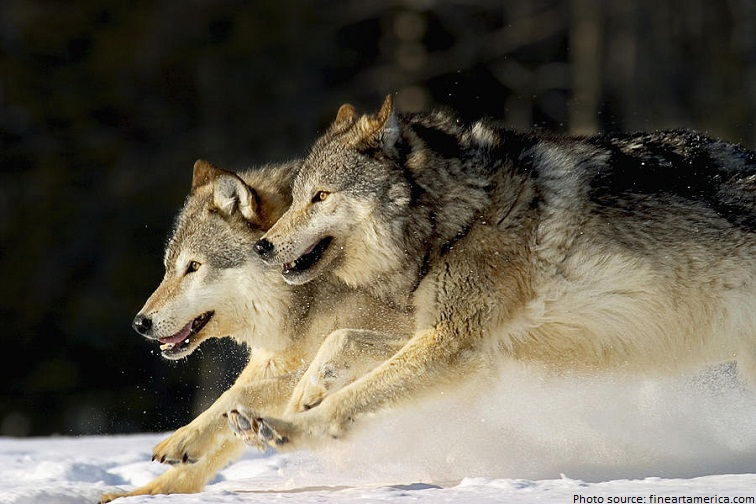 interesting facts about wolves just fun facts