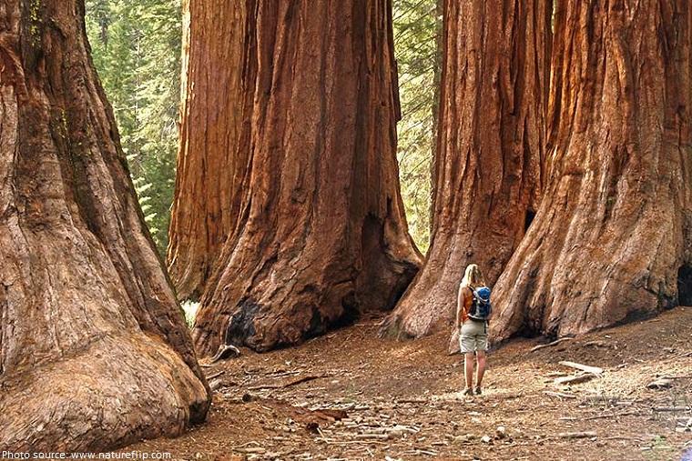 yosemite mariposa grove giant sequoias