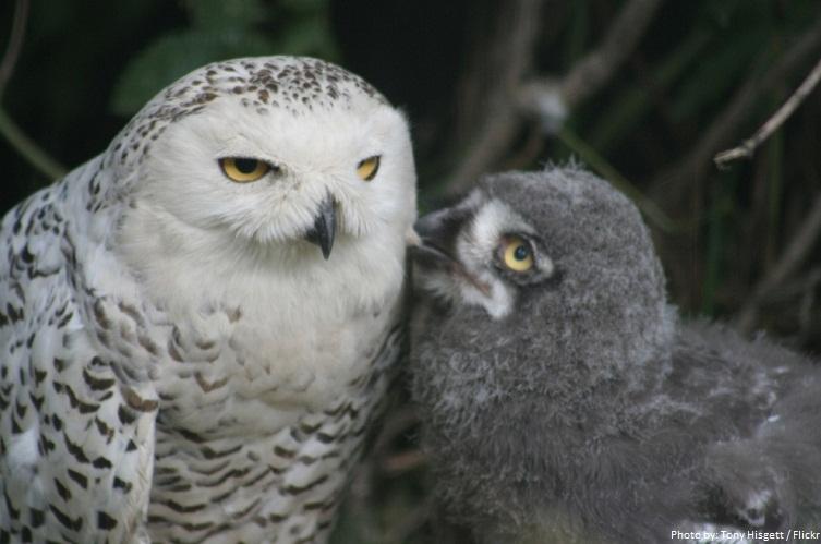 yung snowy owl