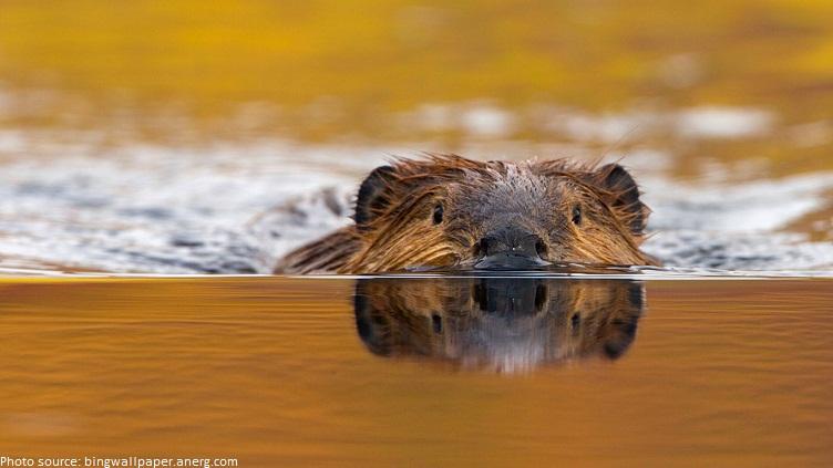beaver swiming