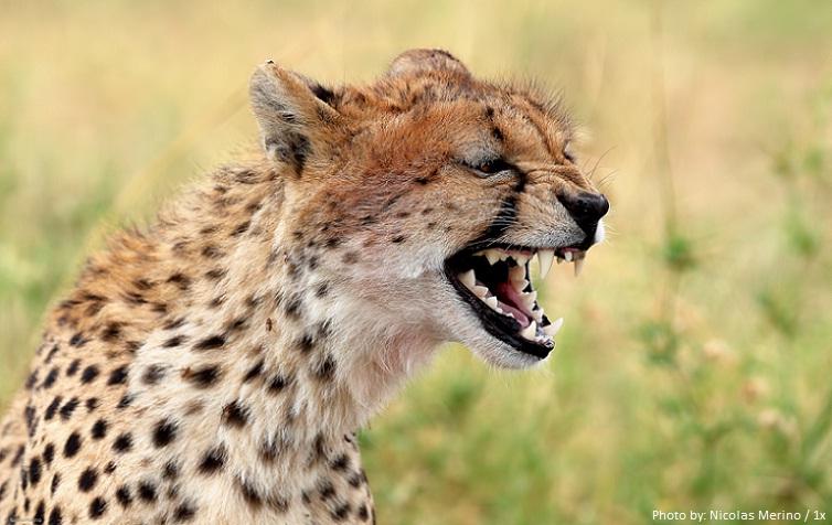 cheetah facial expressions