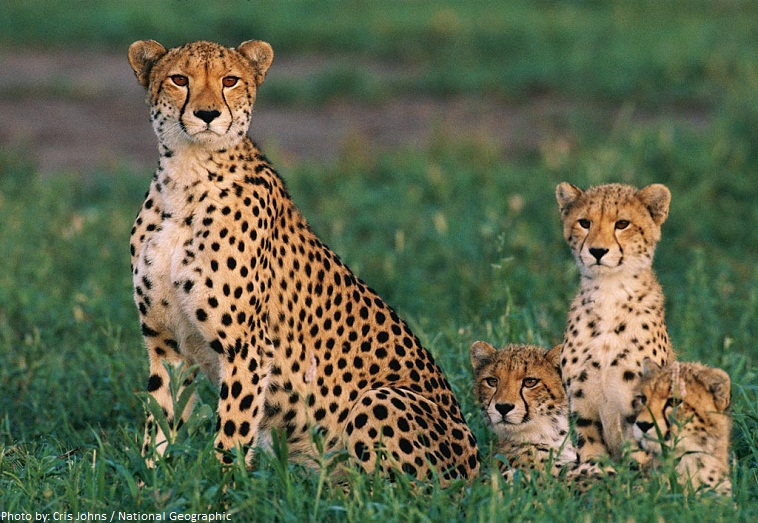 cheetah-mother-and-cubs