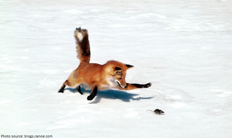 fox catching prey