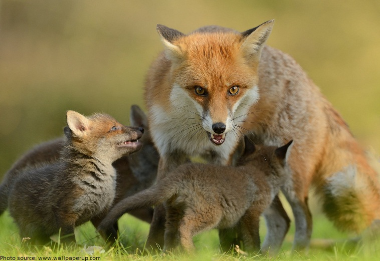 fox with pups