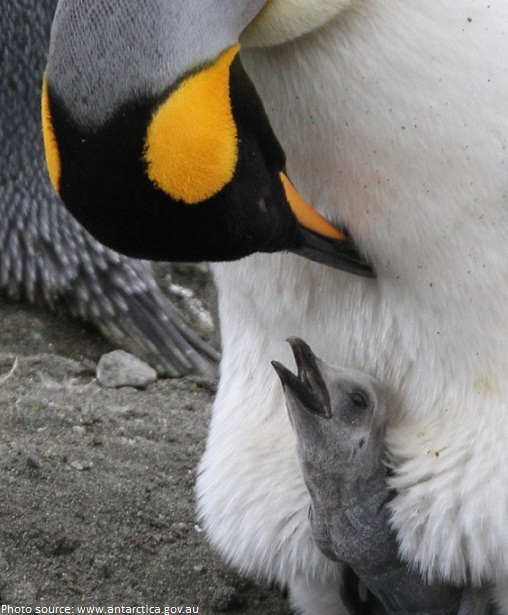 king penguins chick