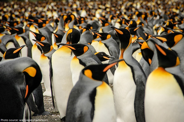 king penguins south georgia colony