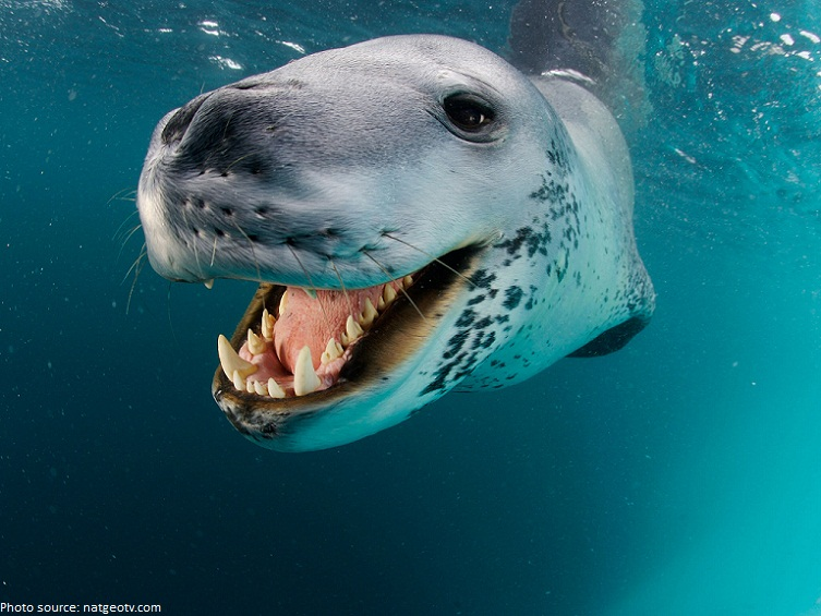 leopard seal smileing
