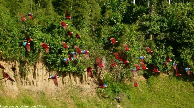 macaw flock