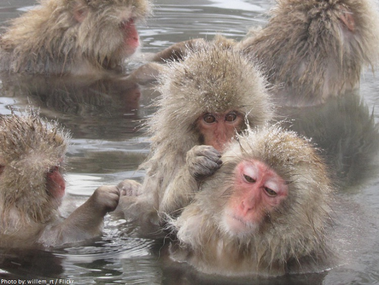 snow monkeys groom each-other