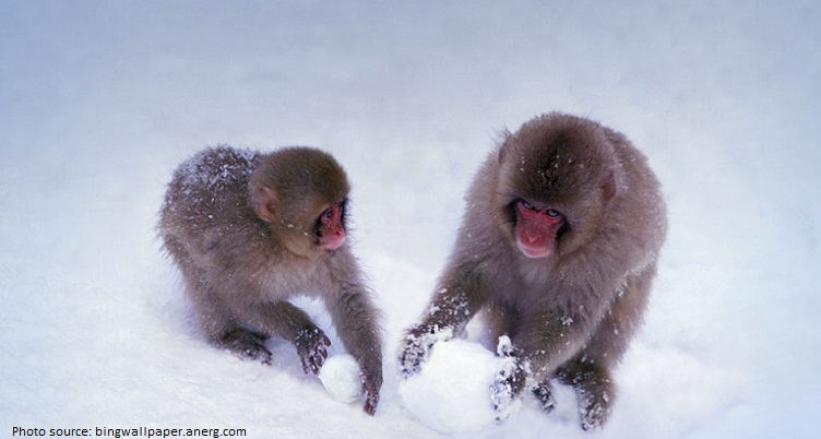 snow monkeys snowball