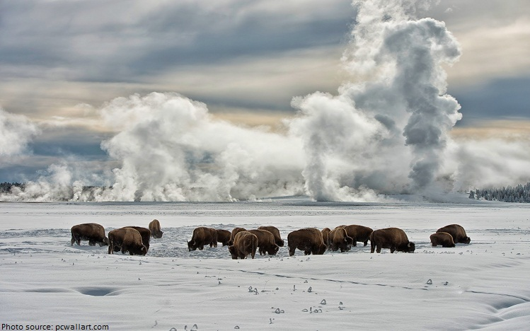 yellowstone bison winter