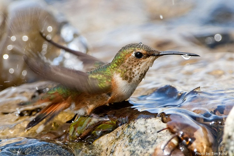 hummingbird takes a bath