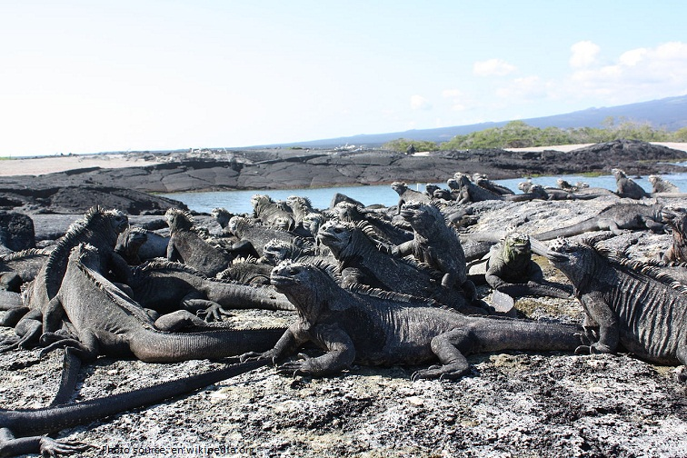 marine iguana group