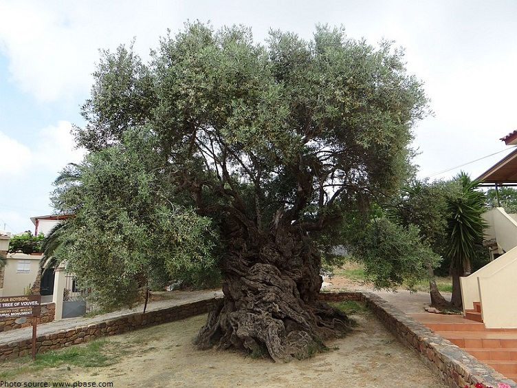 oldest olive tree in the world