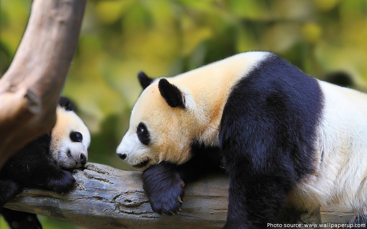 panda cub and mother