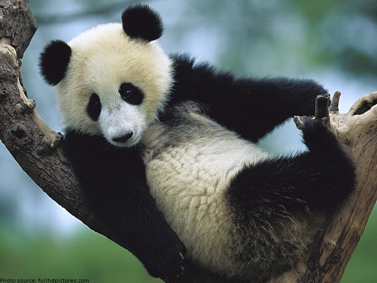 Interesting facts about pandas | Just Fun Facts