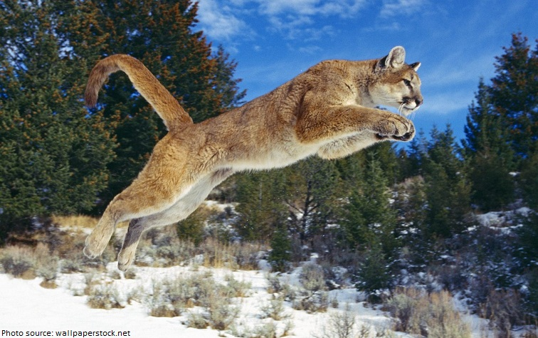 cougar - puma - mountain lion - painting by Carl Brenders - The ...