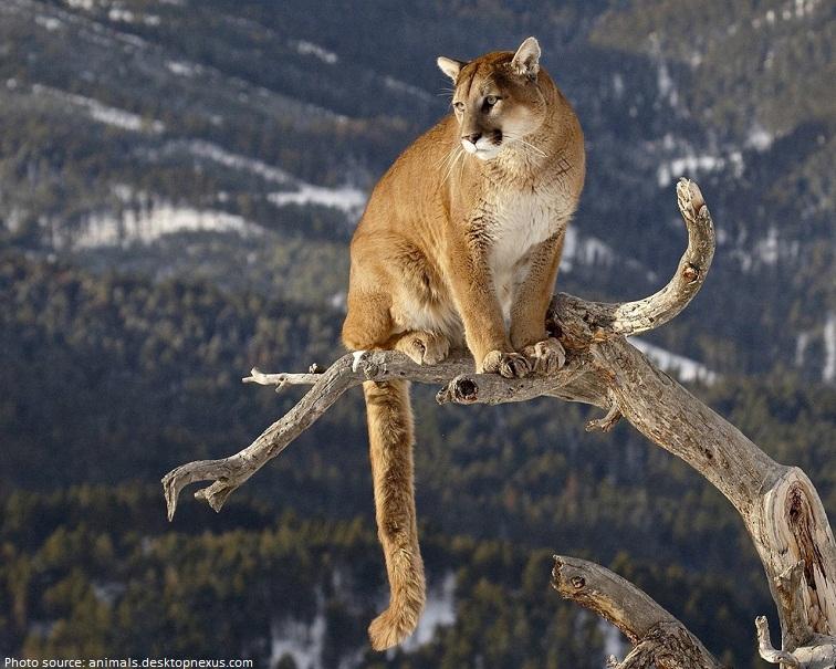 puma animal images