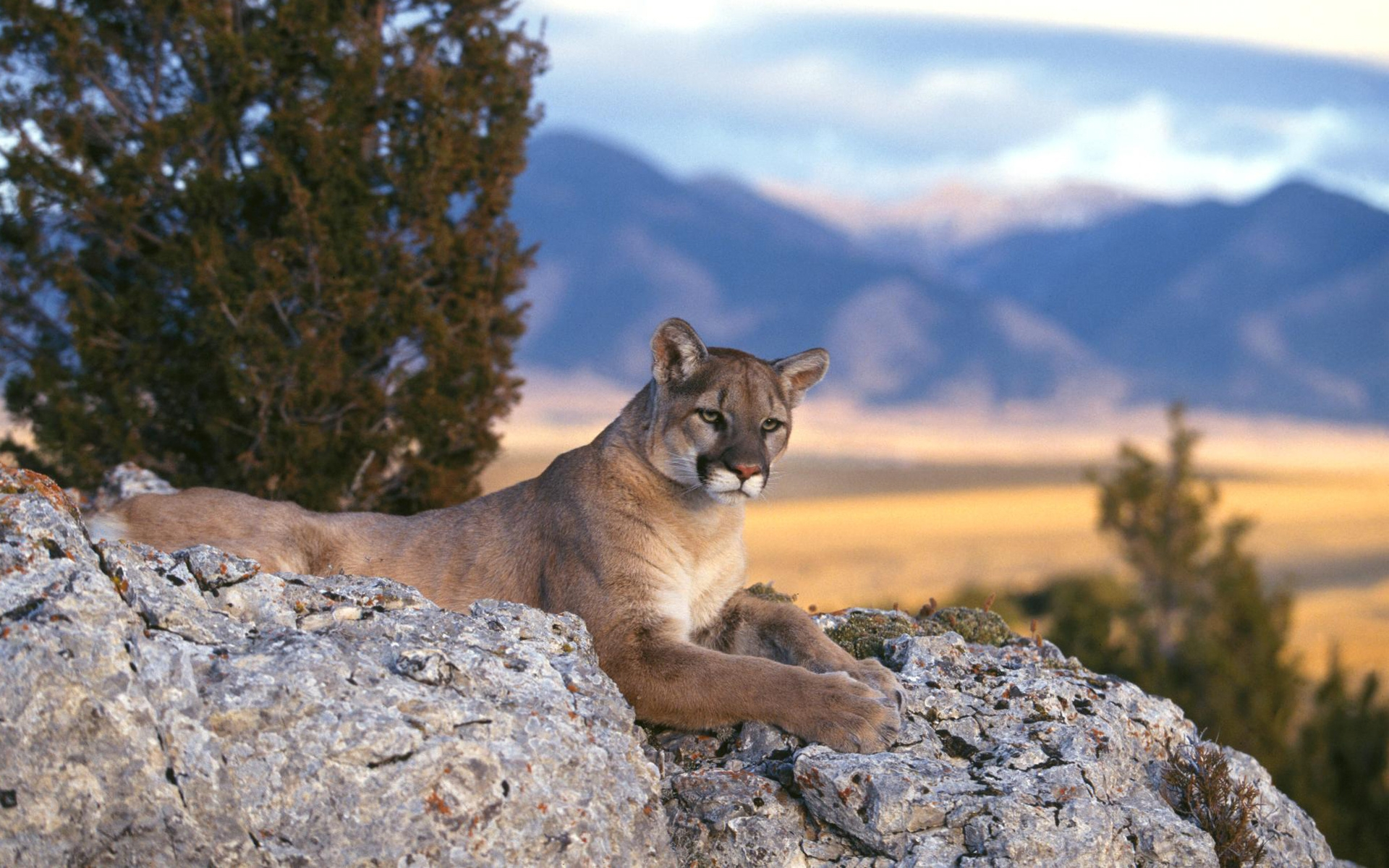 interesting facts about pumas just fun facts