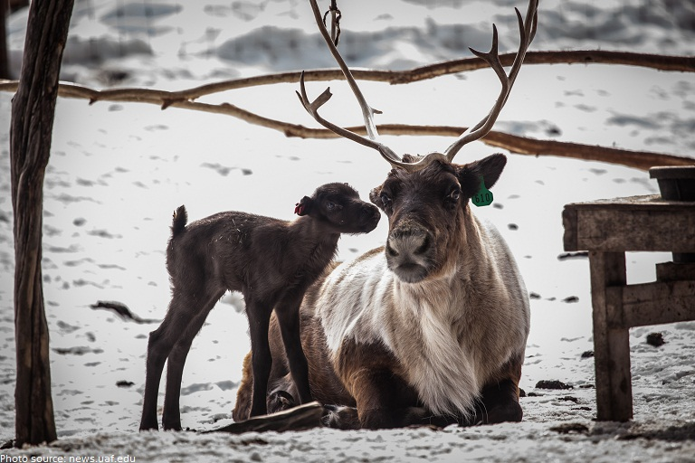 reindeer mother and calf
