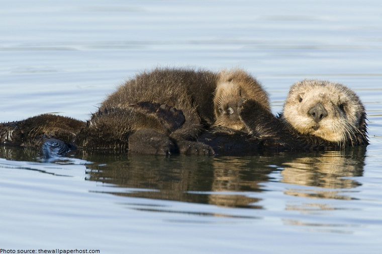 sea otter mother and cub