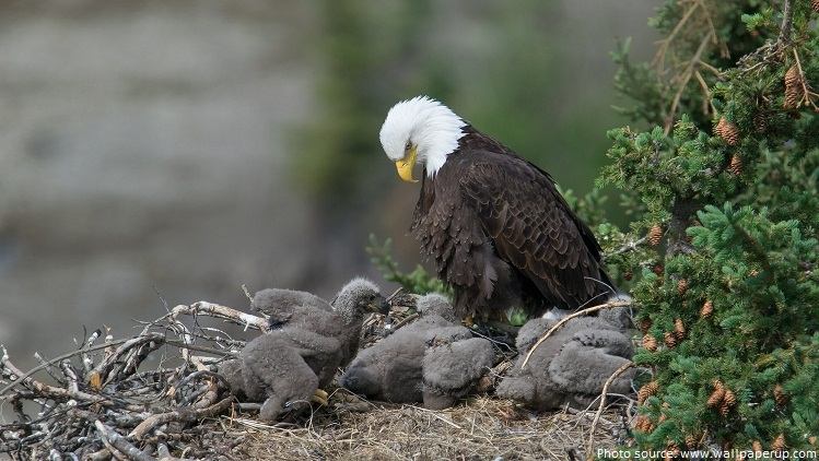 bald eagle with eaglets