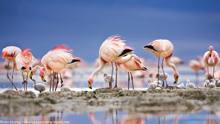 flamingos chicks