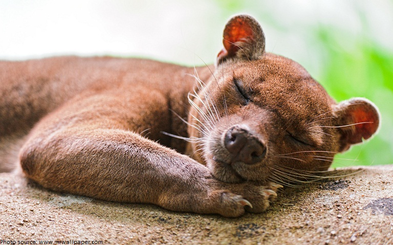 interesting facts about fossa just fun facts